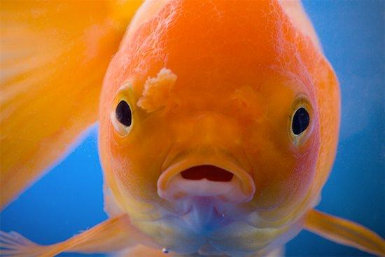 Little Gold Fish