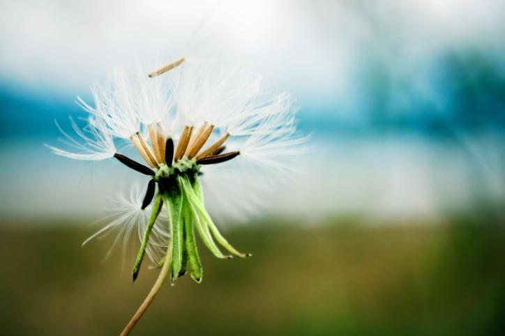 dandelion, pollen, seeds