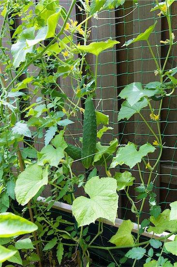 Cucumbers cvines 2