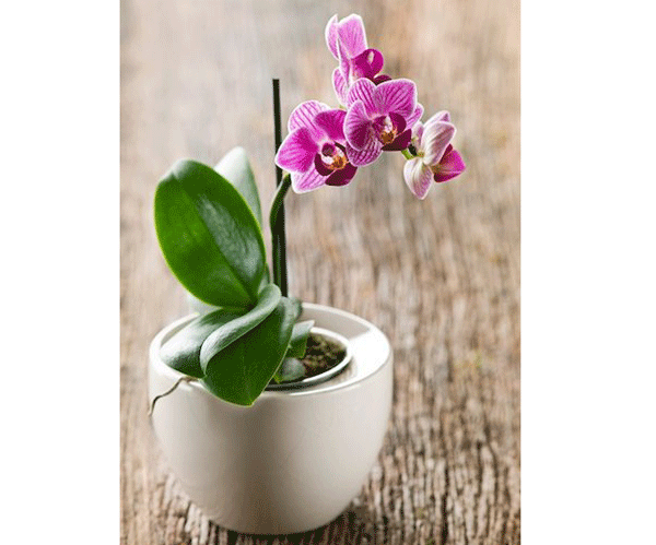 pink-orchids-white-flower-pot