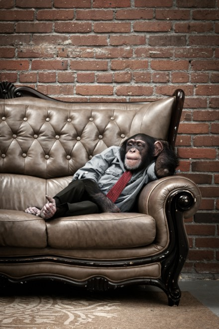 chimpanzee monkey animal in shirt and tie sitting on leather couch