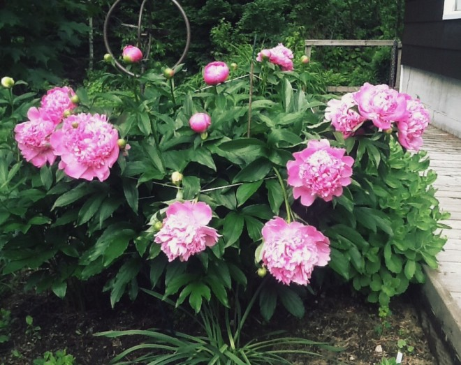 How to choose plant and grow peonies - Growing peonies in the garden ...