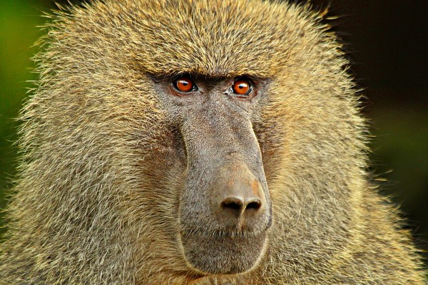 A baboon battle erupted at the Toronto Zoo after the reigning matriarch died.