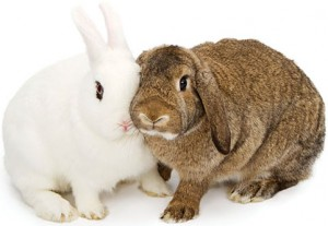 A pair of rabbits affectionately pressing their faces together. Photos, iStockphoto.