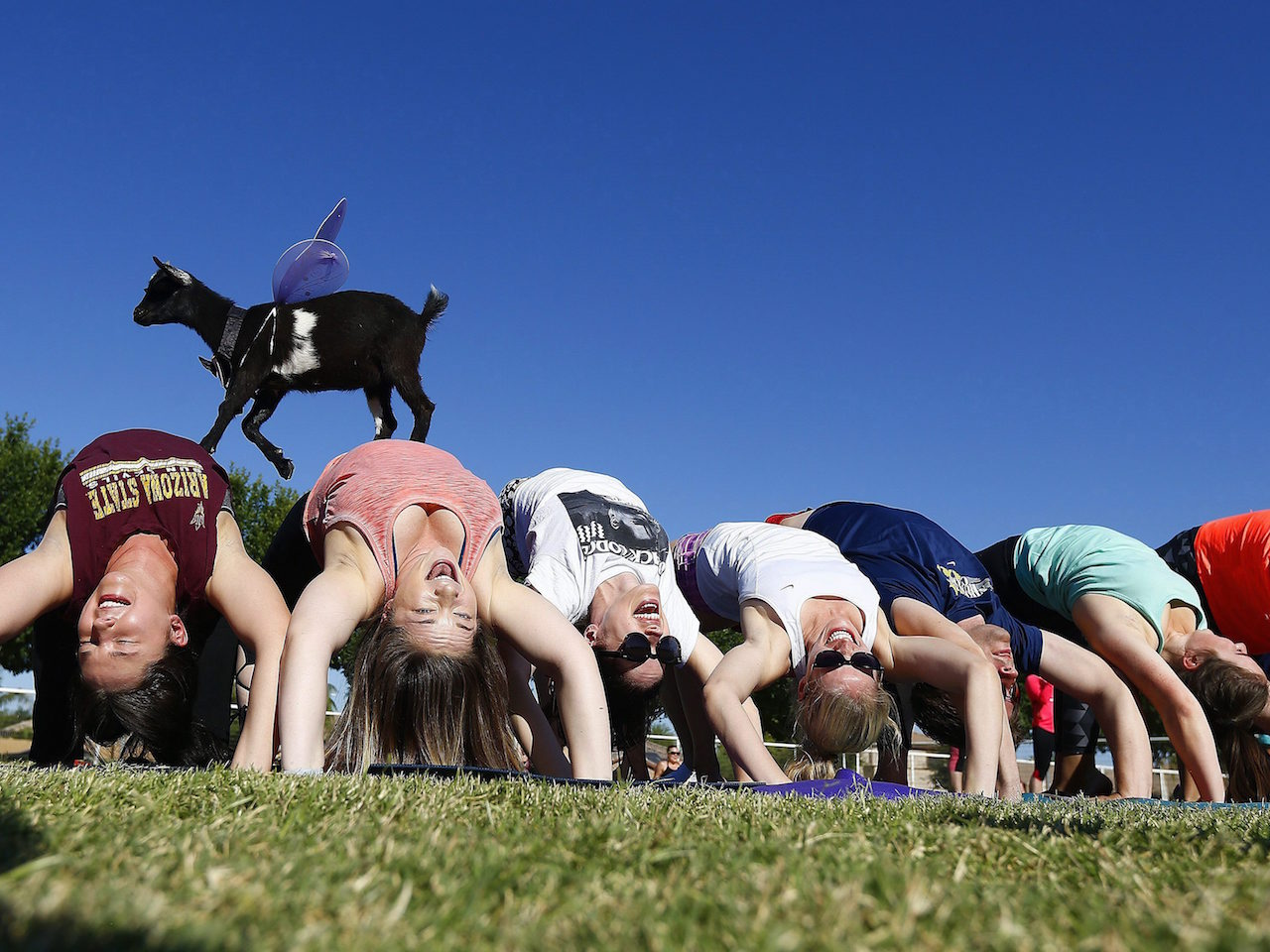 AZ Goat Yoga participants try to stay in a yoga pose as a young goat walks over them at the Welcome Home Ranch Saturday, May 6, 2017, in Gilbert, Ariz. (AP Photo/Ross D. Franklin)