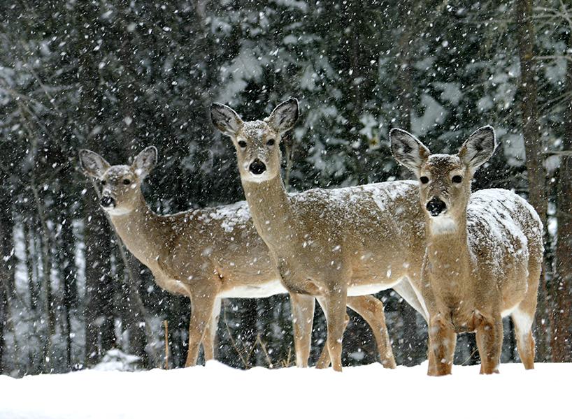 best outdoor winter activities-in Saskatoon, three deers on a snowy field