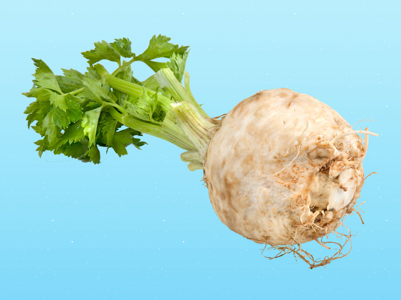 Celeriac and celery root are the same thing: Show here on a blue background.