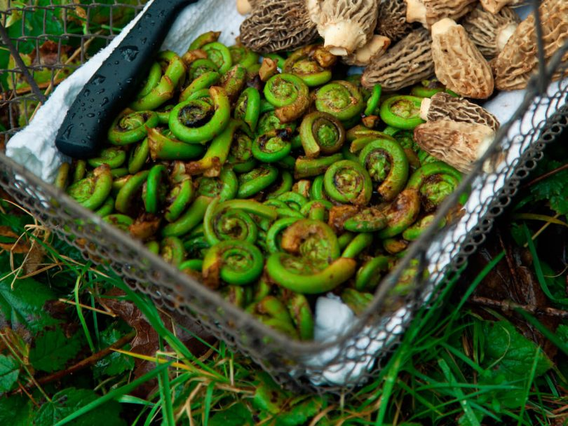 Fiddleheads and morrels in a basket.