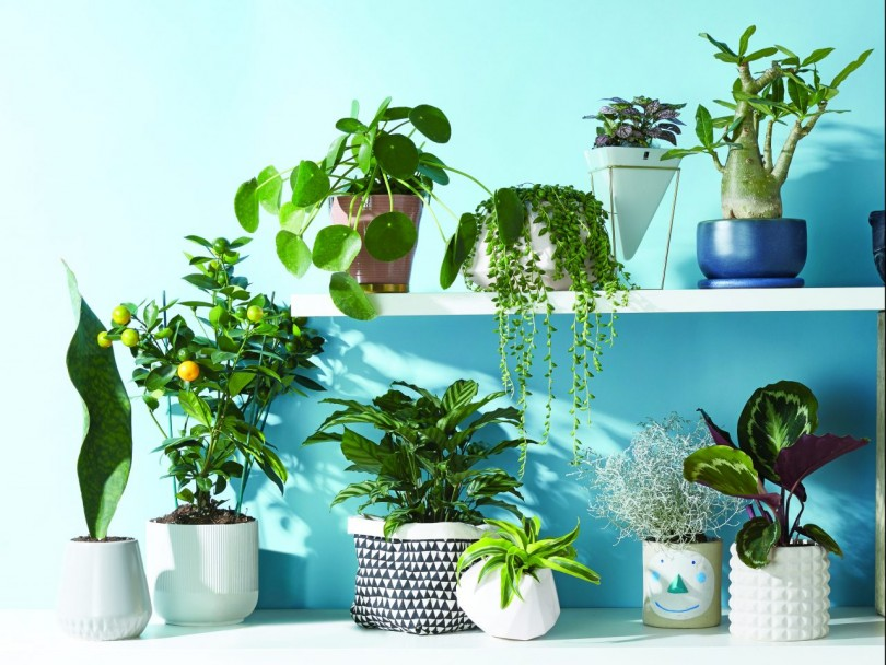 easy indoor plants-GROUPSHOT of a dozen plants in pots sitting on white shelves against a blue background