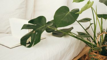 keep houseplants alive-feature image shoes a leafy palm plant draped over a white bed