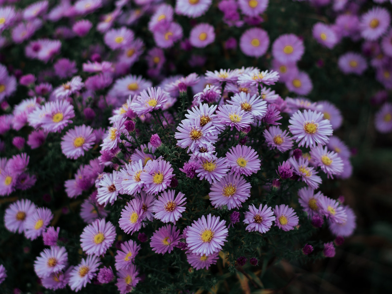 light purple Aster flowers all bunched close together in a garden