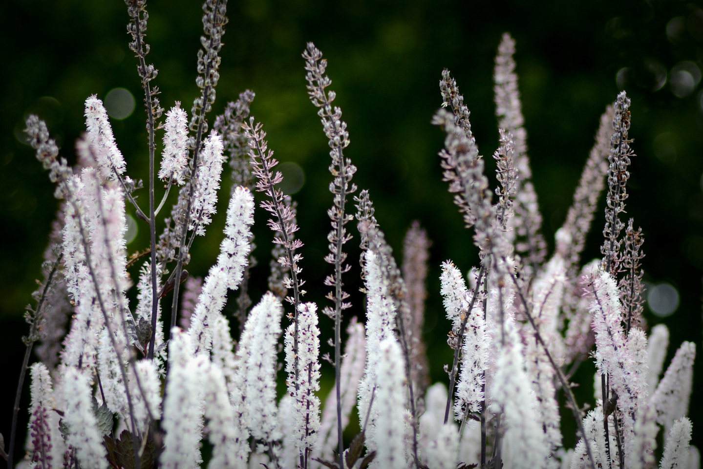 Light violet and white tall plumey flower plants