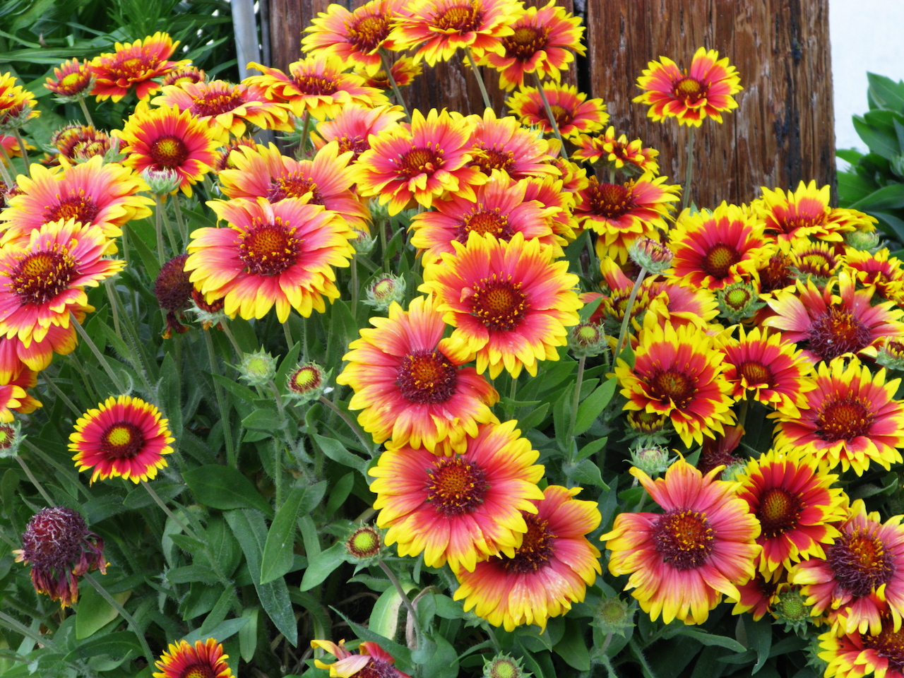 Yellow and orange and pink Gaillardia grouped together in a garden