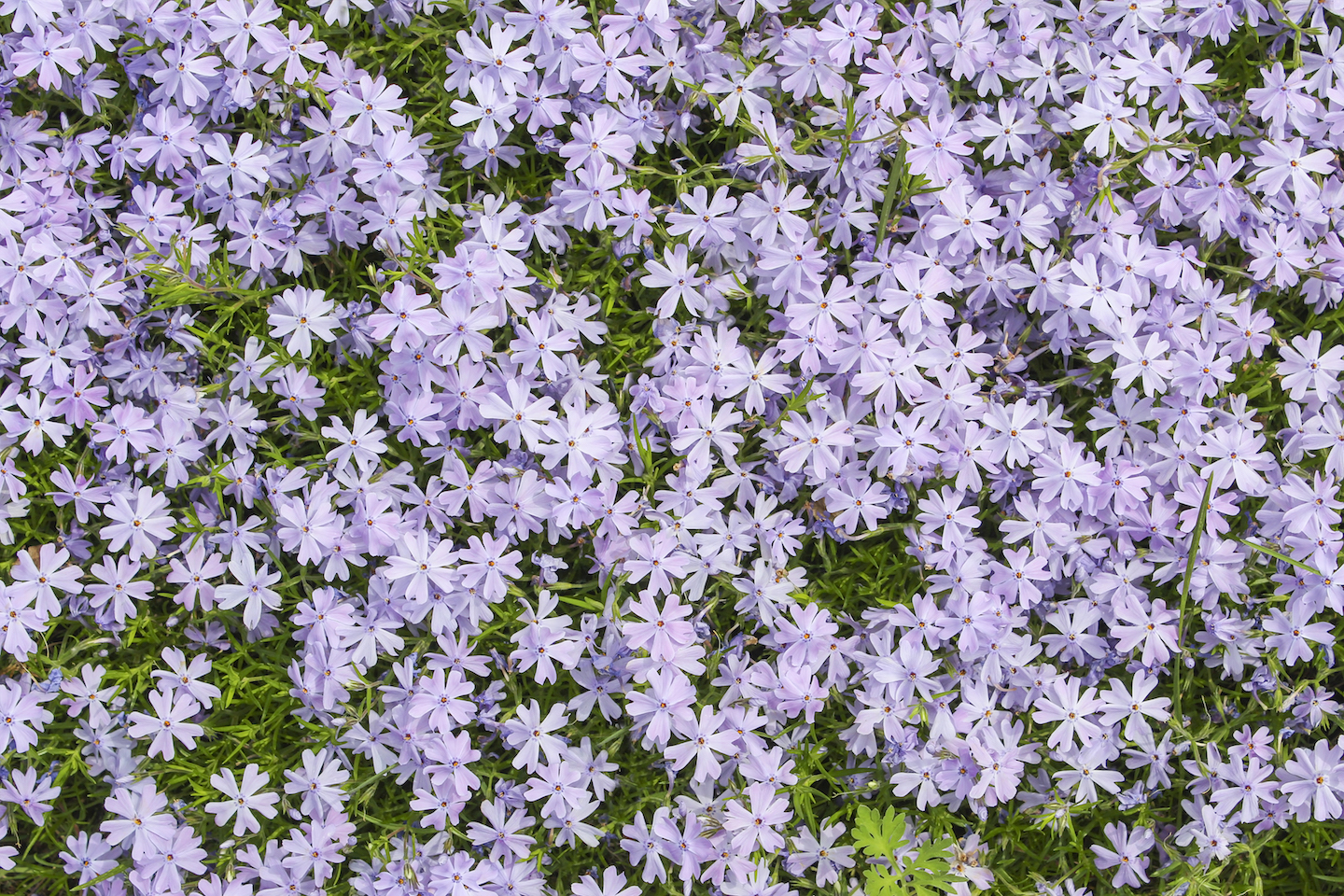 Natural carpet of ornamental flowering moss phlox as background