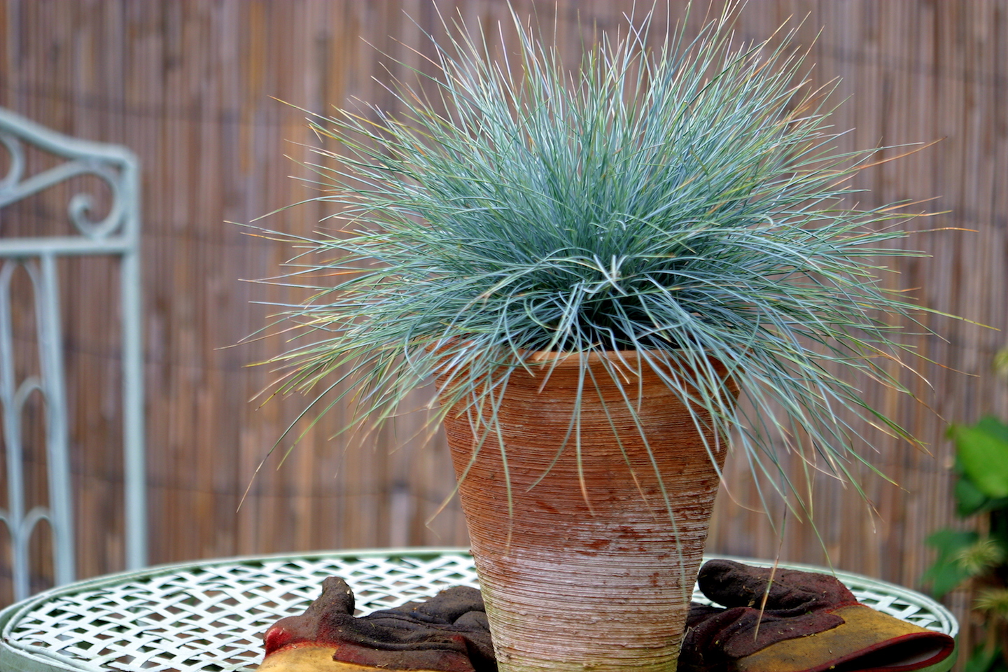 ornamental grass Festuca Elijah Blue in a terracotta pot