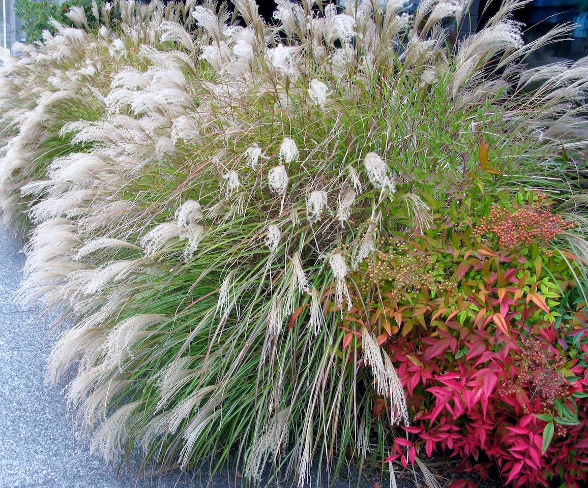 Chinese Silver Grass Early Hybrids and Heavenly Bamboo shrub