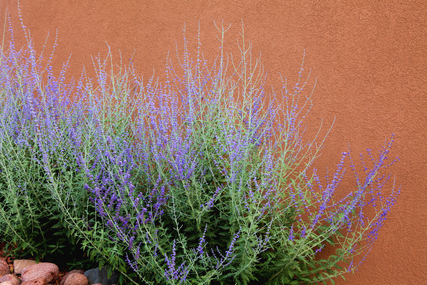 Russian Sage growing in front of an adobe wall.