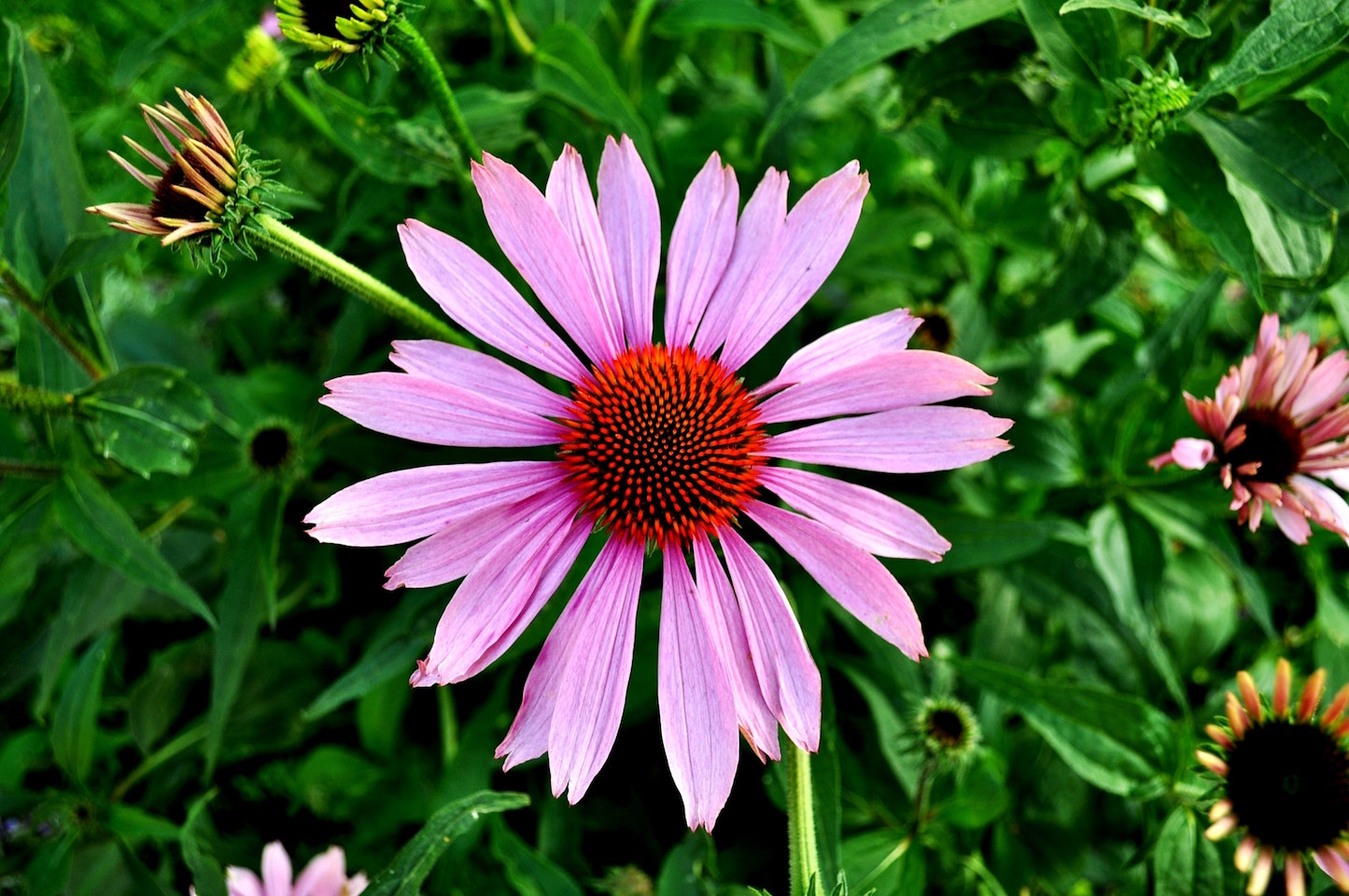 purple echinacea flower with red-purple centre against green foliage