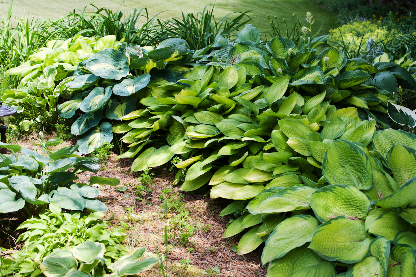 A large number of hostas in a garden
