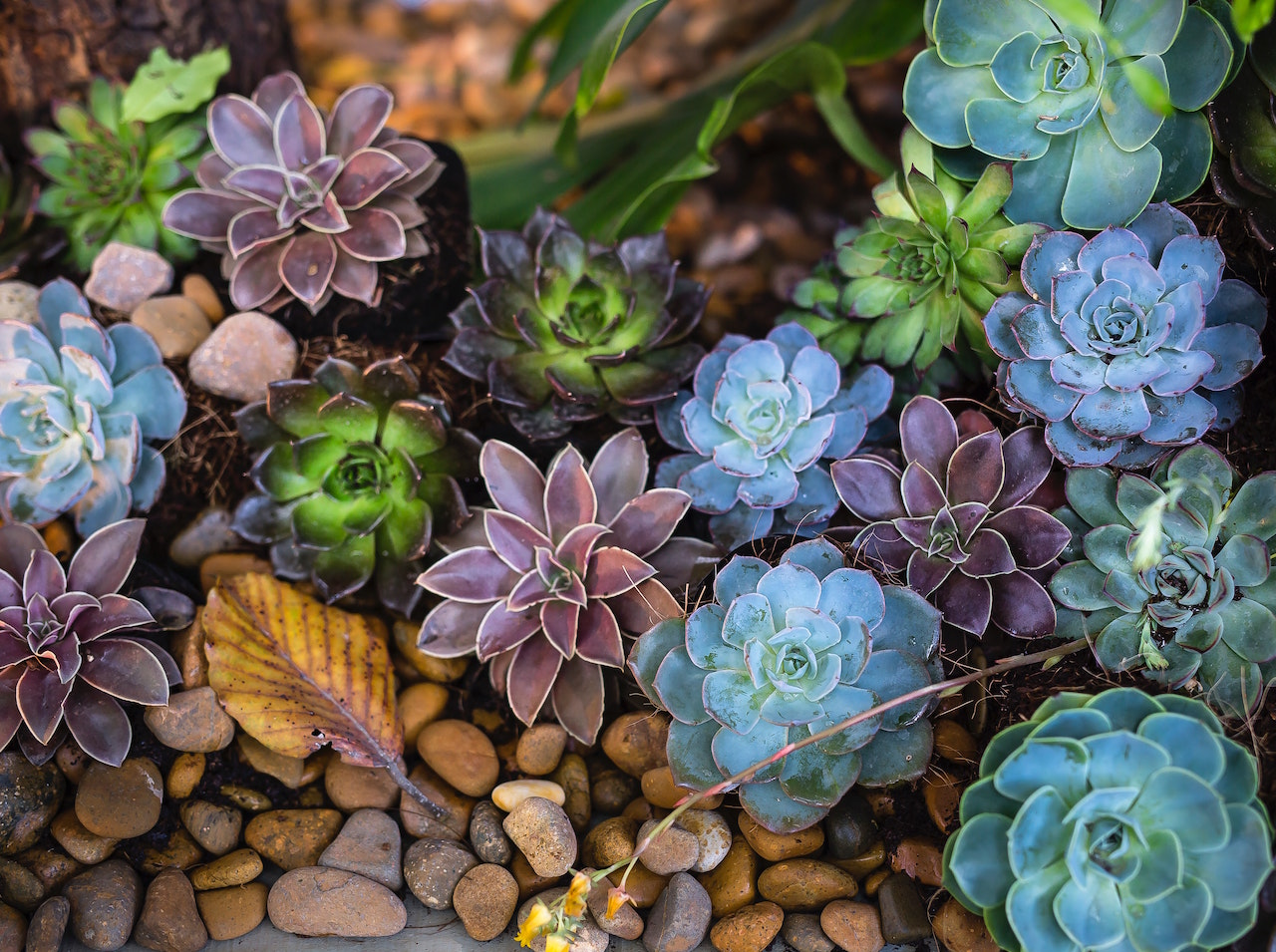 Assorted succulents of green and purple in a garden