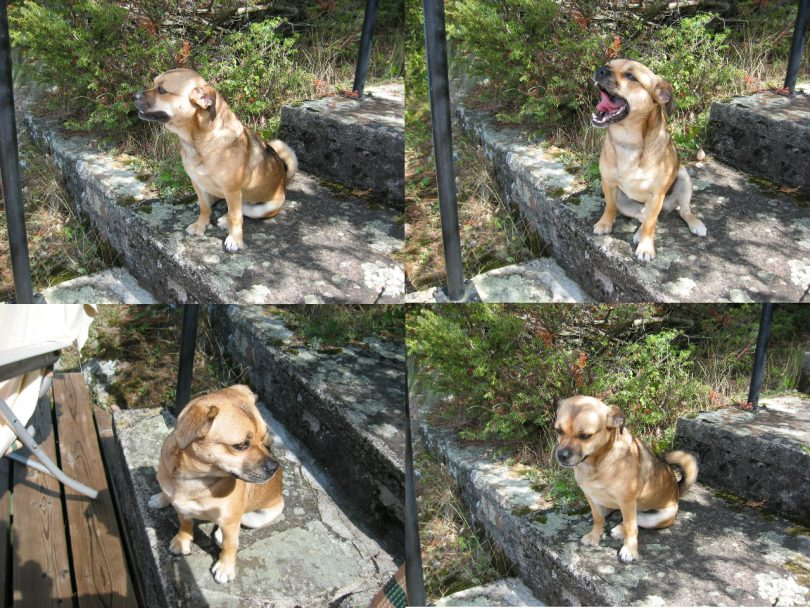 A series of four photos shows a small brown dog sitting on stone steps yawning and looking around