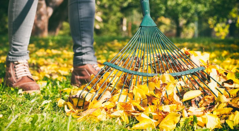 Gardener woman raking up autumn leaves in garden. Woman standing with rake.