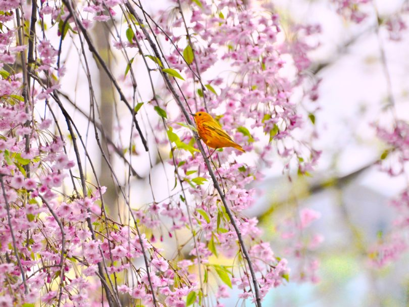 A yellow warbler perched on a cherry blossom branch.