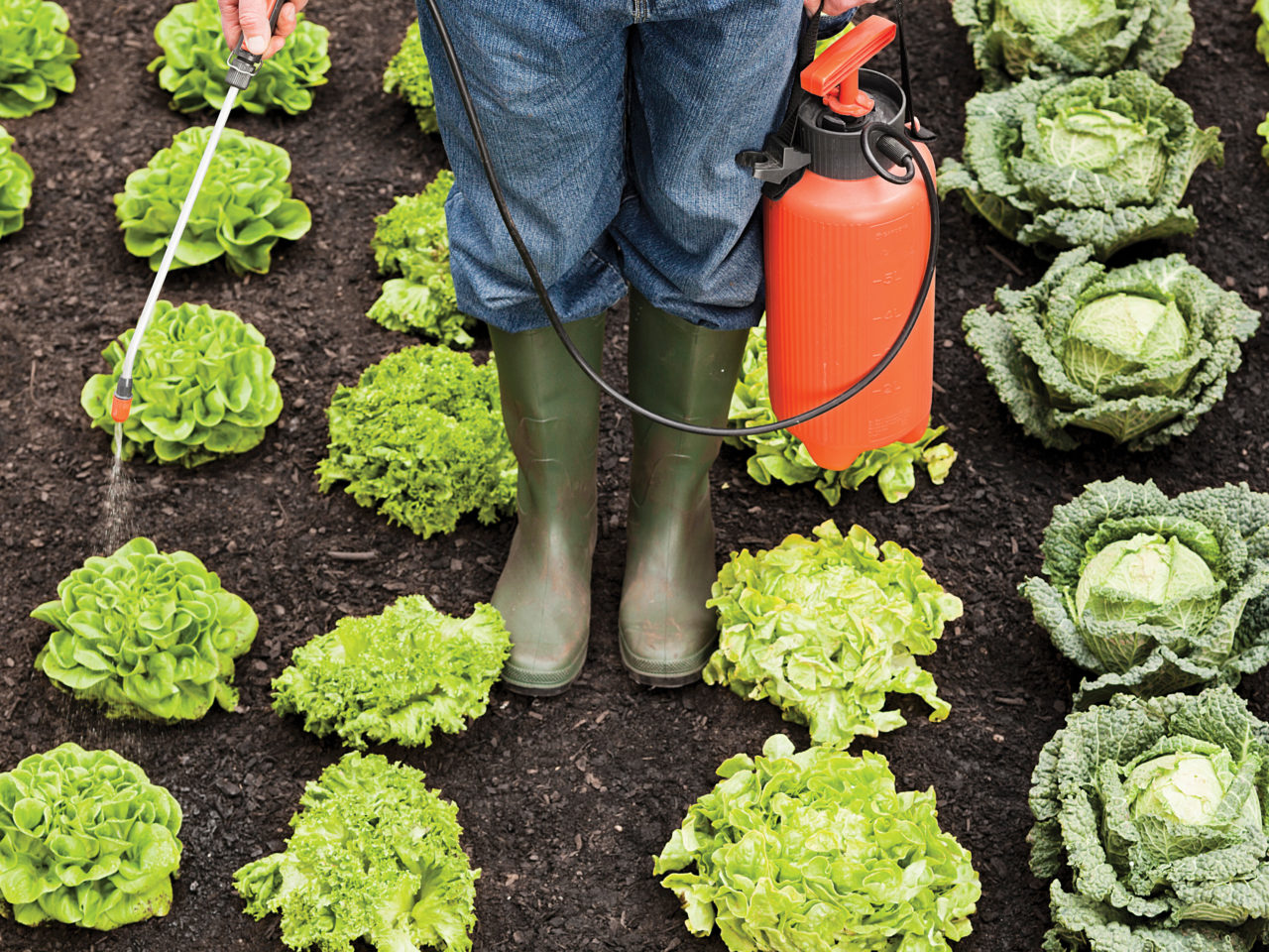 A farmer spraying a field of lettuce to illustrate a piece on organic foods, glyphosate and health