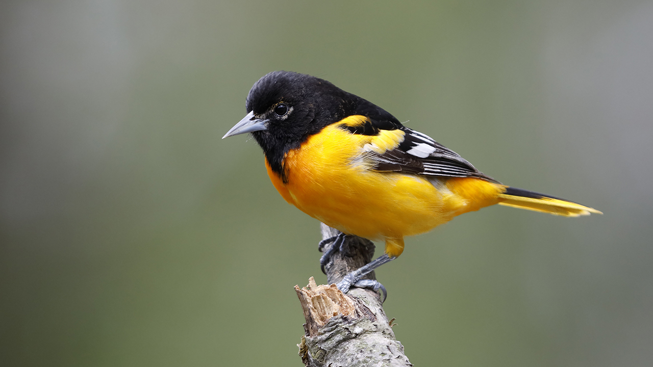 A male Baltimore Oriole, for a piece about how to get started bird watching or birding in Canada in 2020