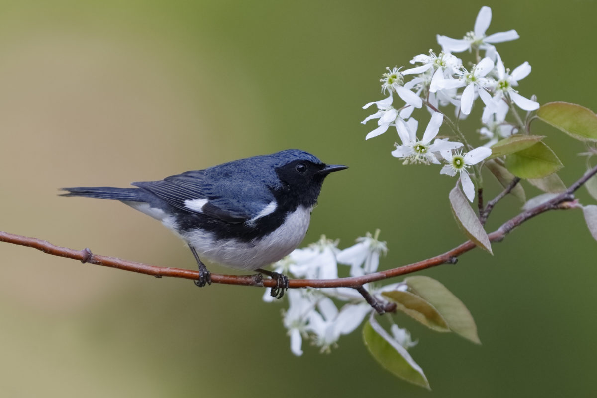A male Black-throated Blue Warbler perched on a serviceberry branch.
