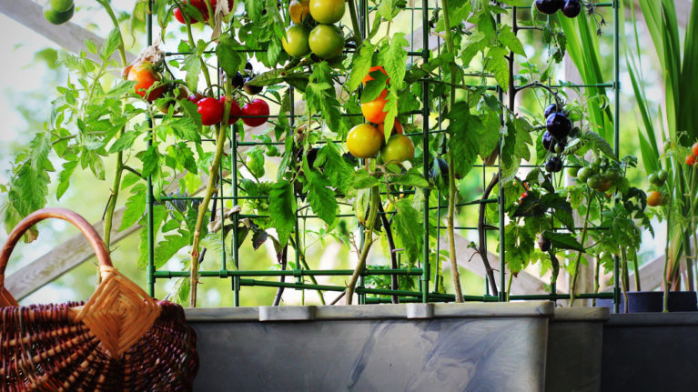 Red, orange, yellow, black tomatoes growing in container for a piece on balcony gardening