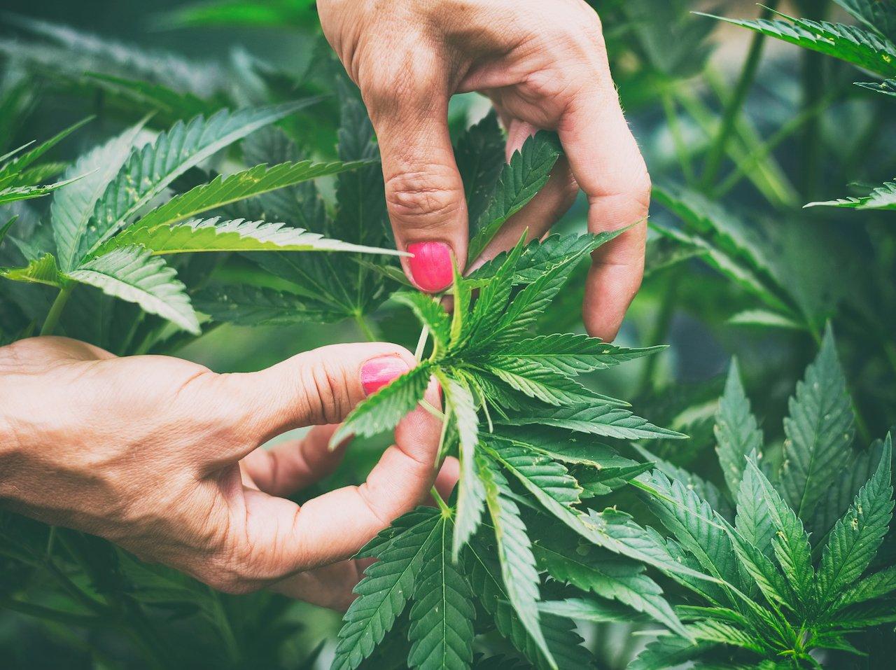 A photo of hands holding a marijuana leaf