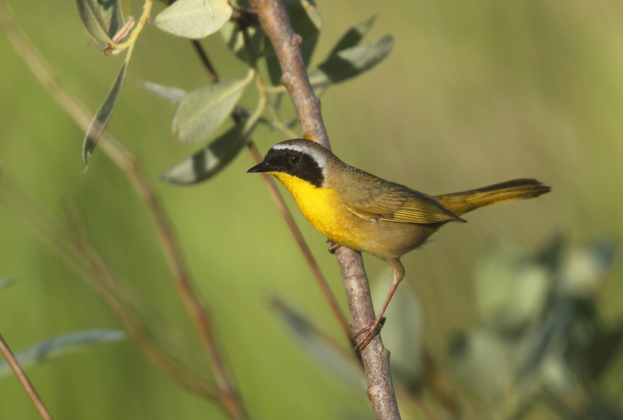 A male common yellowthroat, a bird with a yellow chest and black and white face markings, sitting on a stick