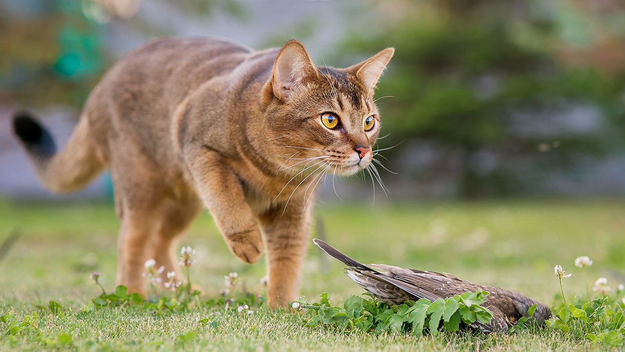 A cat hunts a bird outside to illustrate a piece on why keeping cats indoors is good for cats and the environment