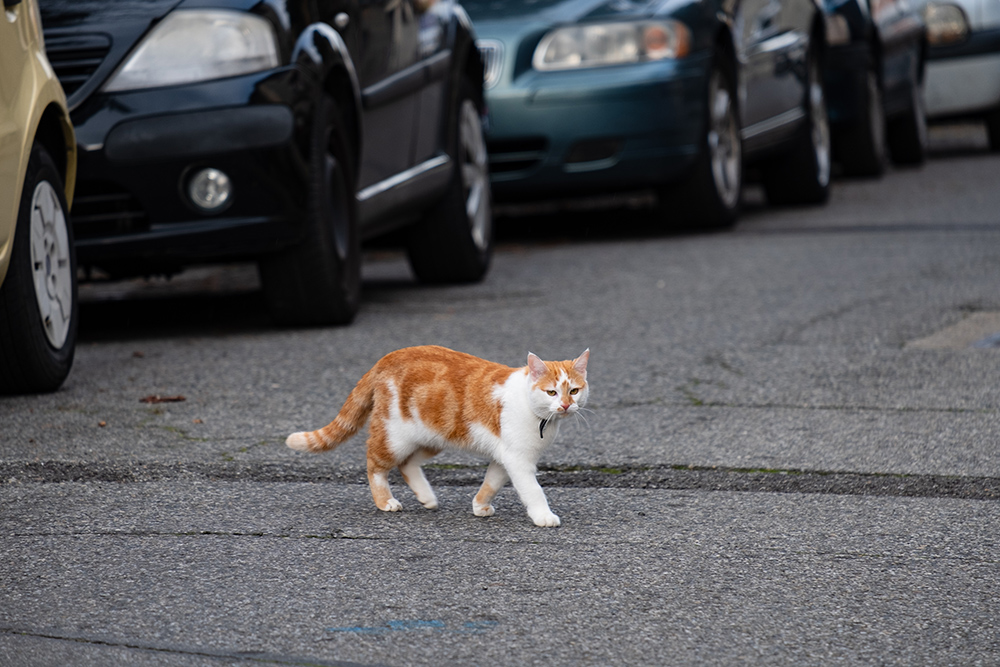 A cat crossing the street in front of cars