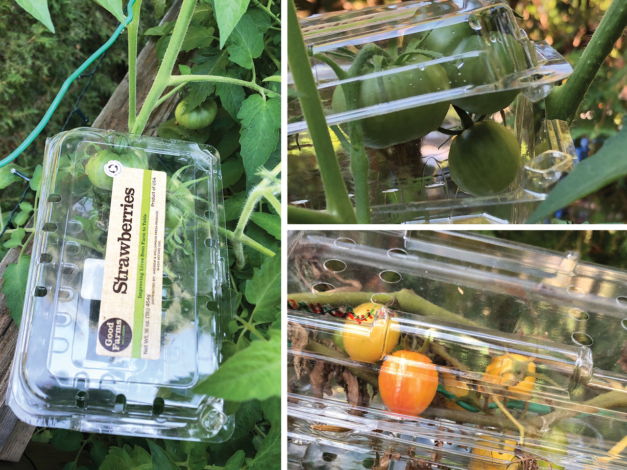Plastic produce boxes protecting tomatoes growing in a garden