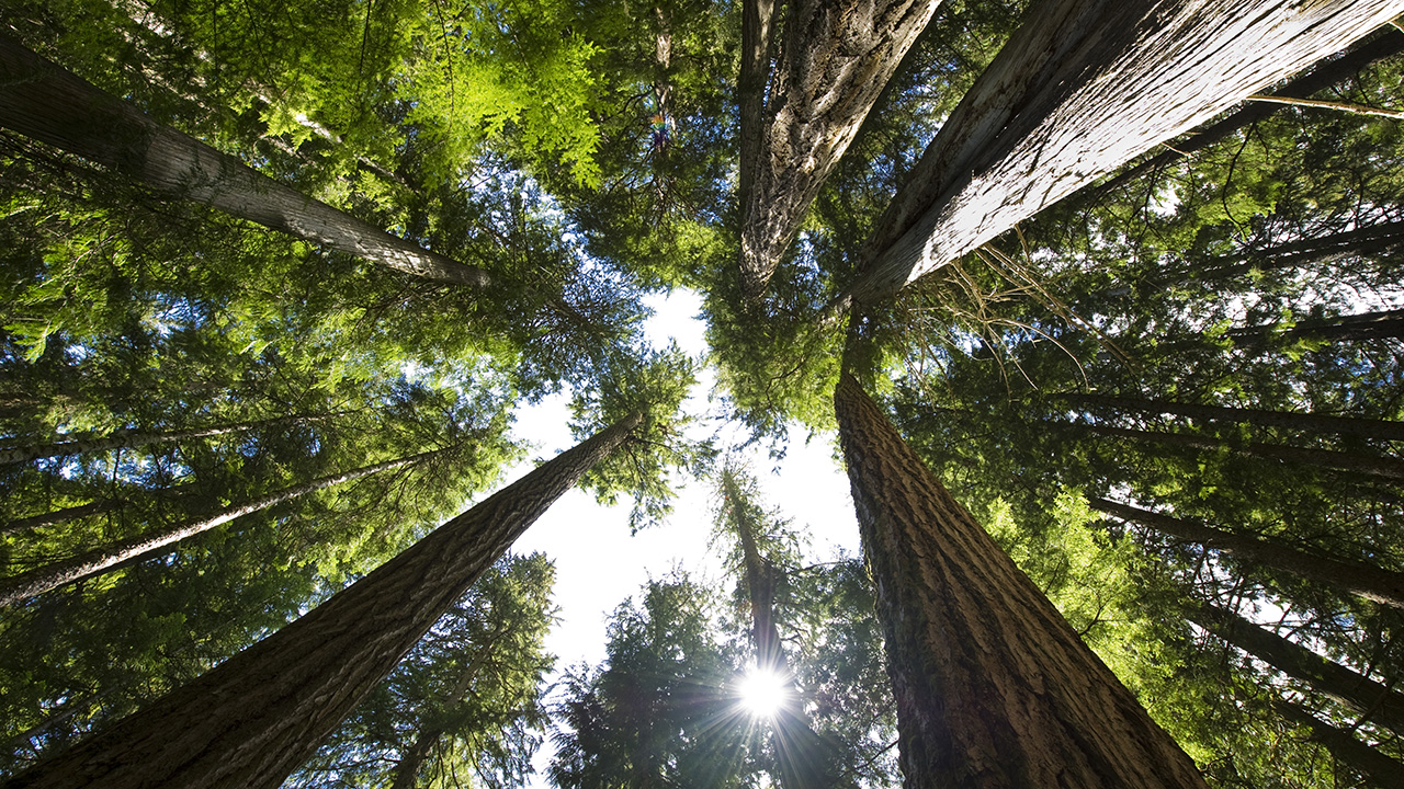 A BC coastal temperate rainforest, shot from the ground looking up towards the tree canopy with the sun shining through for a piece in which a climate scientist grades the federal parties' climate plans for the 2021 Canada federal election