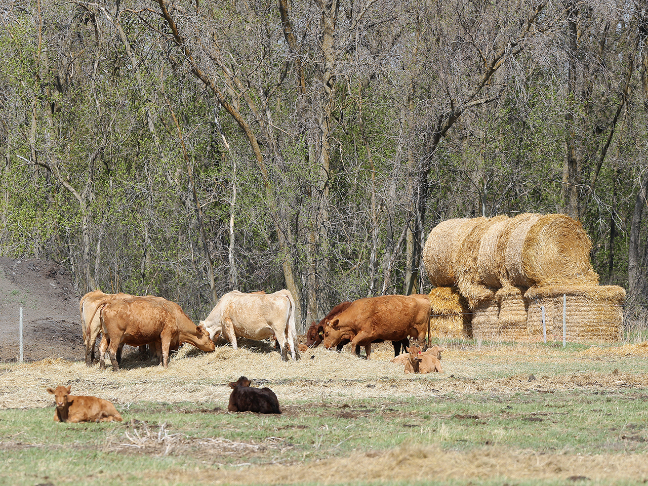 Five cows feed on hay while two cows rest in the foreground
