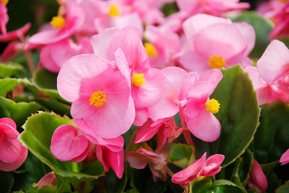 Begonias,semperflorens begonias,in the garden