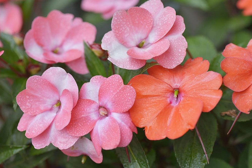 Close up of Pink Impatiens Flowers with Water Drops
